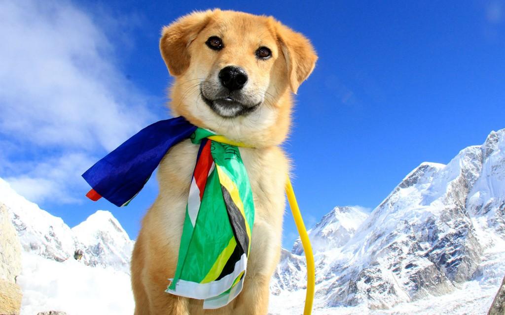 """O """"grande herói"""", o vira-lata Rupee, que tornou-se o primeiro cão a chegar ao topo do monte Everest, levado para lá pela sua dona, Joanne Lefson. Até um cão chegou lá!!! Você não quer tentar?"""